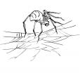 Coloriage Araignée 1