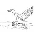 Coloriage Canard 11