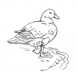Coloriage Canard 13