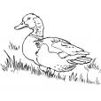 Coloriage Canard 2
