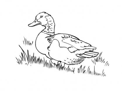 Coloriage canard 2 coloriage canards coloriage animaux - Image canard a imprimer ...