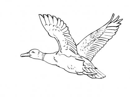 Coloriage Canard 8
