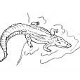 Coloriage Crocodile 1