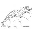 Coloriage Crocodile 13