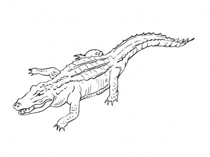 Coloriage Crocodile 5