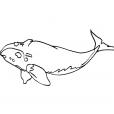 Coloriage Mammifère marin 7