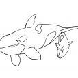 Coloriage Mammifère marin 9