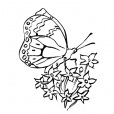 Coloriage Papillon 8