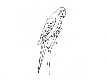 Coloriage Perroquet 3