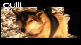 Les hommes amis avec les loups