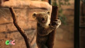 Copains Comme Cochons - Naissance chez les Koalas