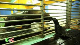 Copains Comme Cochons - Naissance chez les Otaries