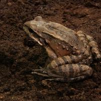 Les amphibiens