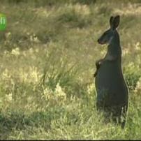 Kangourou debout