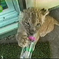 Lion au biberon
