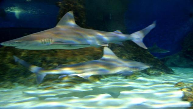 Des pannes Internet causées par les requins ?