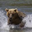 Terre des ours - A l'attaque