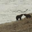 Terre des ours - Le combat