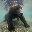 Terre des ours - Le Plongeon