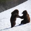 Terre des ours - Petits Ours Bruns