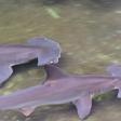 Le requin marteau