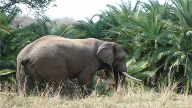 Les éléphants d'Afrique en grand danger