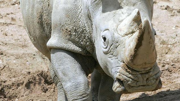 Les rhinocéros ont des puces !