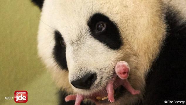 Comment veille-t-on sur le bébé panda ?