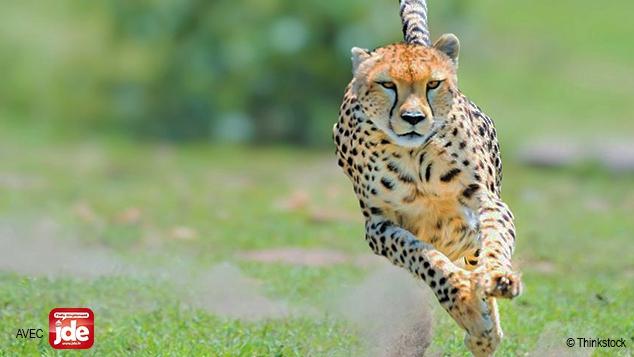 Le guépard menacé d'extinction