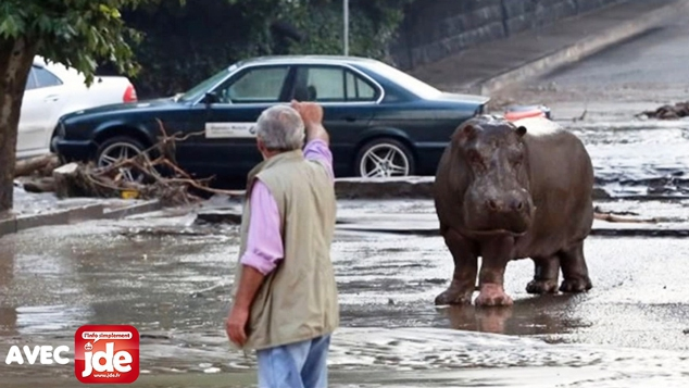 Que fait cet hippopotame dans la rue !?