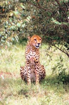 Documentaire sur le guépard