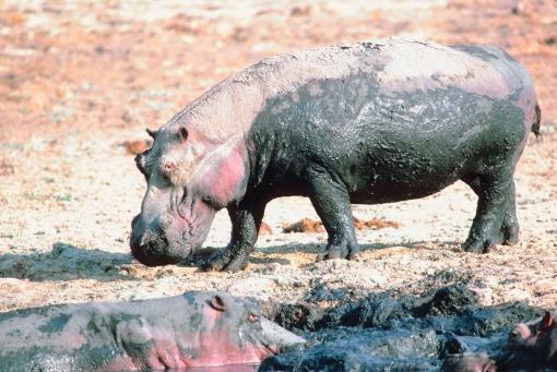 Documentaire sur le rhinocéros